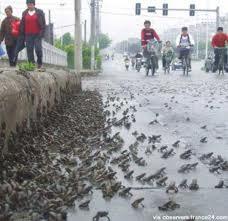 I rospi del Si-chuan. in Cina, che fuggono per trovare scampo al terremoto nel 2008.